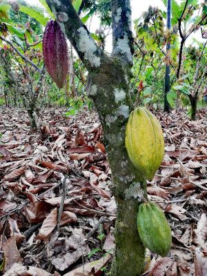 kakaobaum mit kakaofrucht